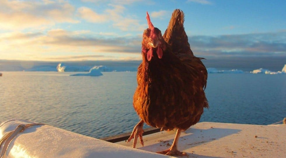 On a wing and a prayer: meet the fearless hen sailing around