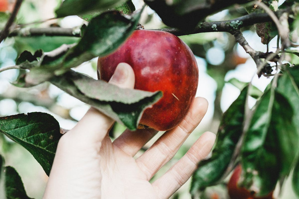 A woman's hand picks a red apple from a tree