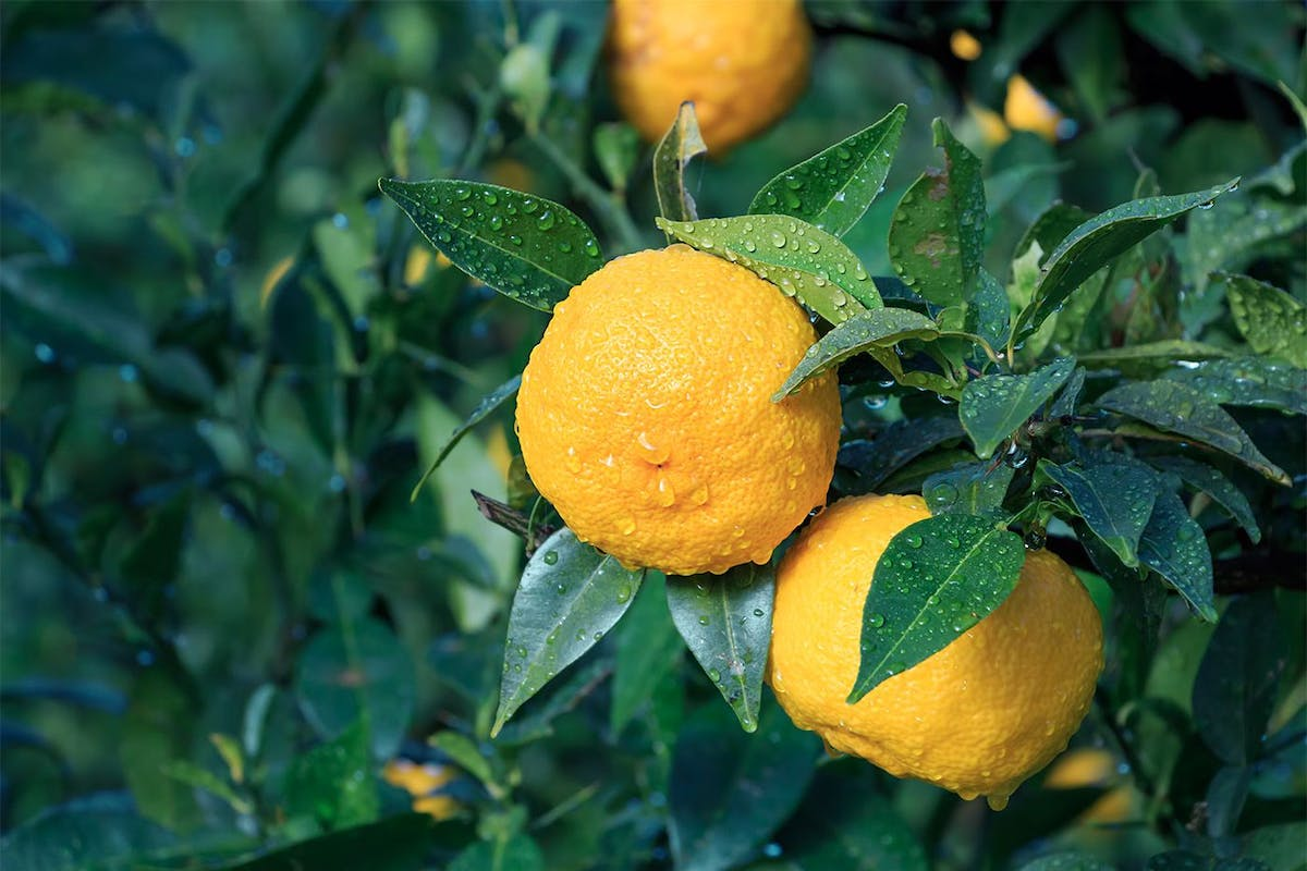How yuzu fruit can help boost your mood