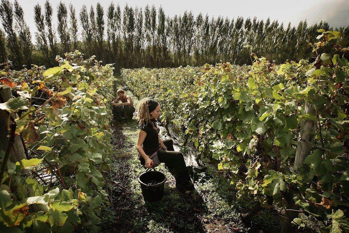 The grape harvest at Nyetimber vineyard