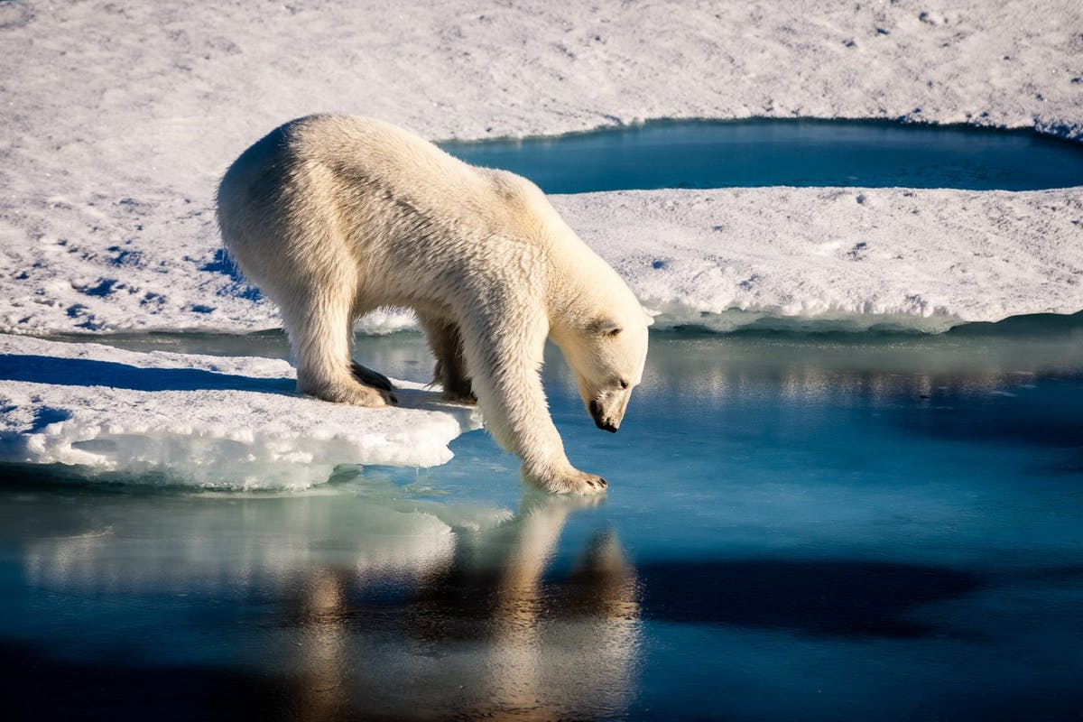 climate change polar bear deaths arctic