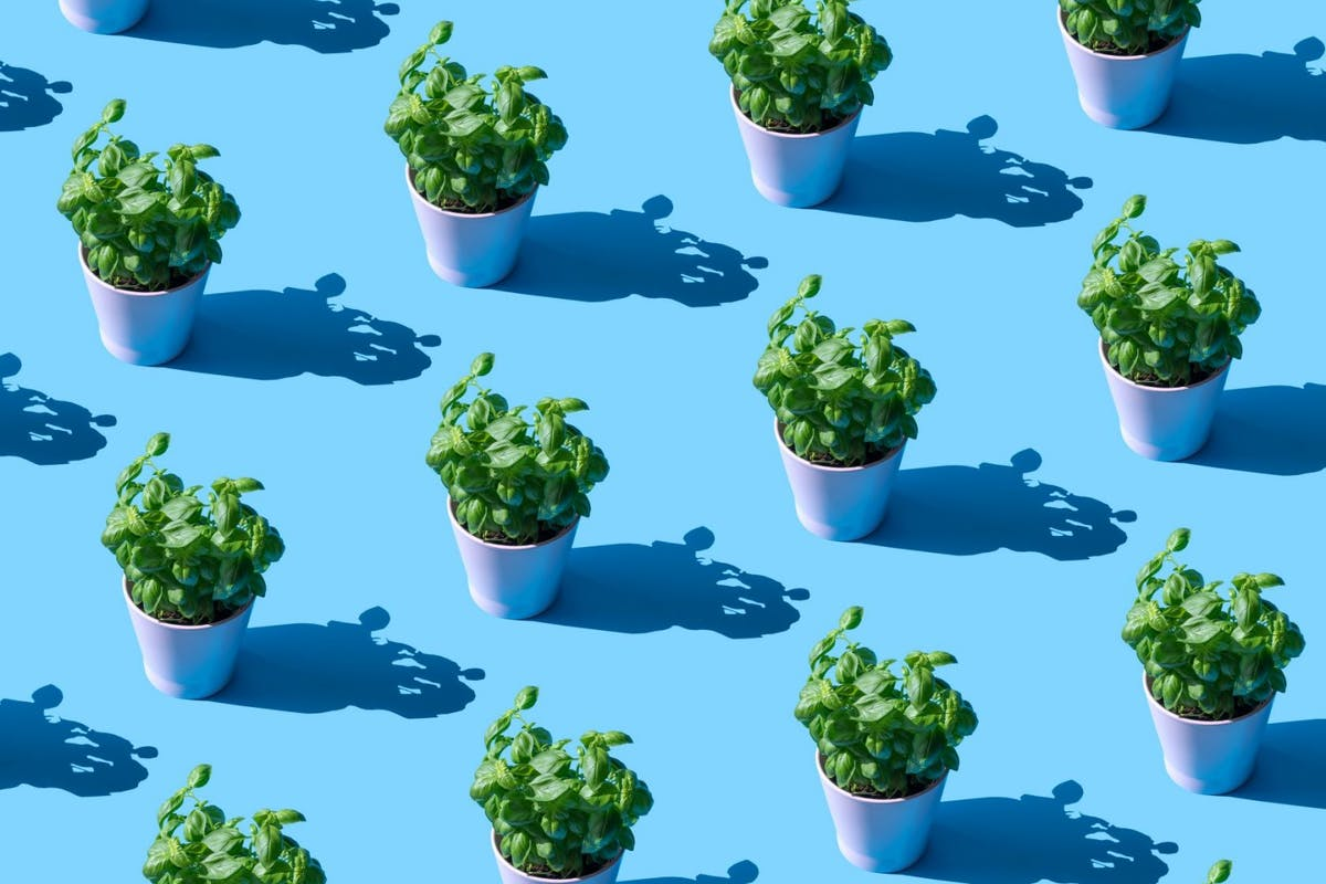 Repeated basil plant in a pot on the blue background - stock photo