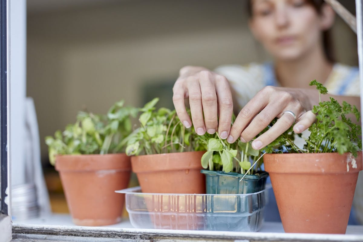 A woman picking herbs from pots on her windowsill