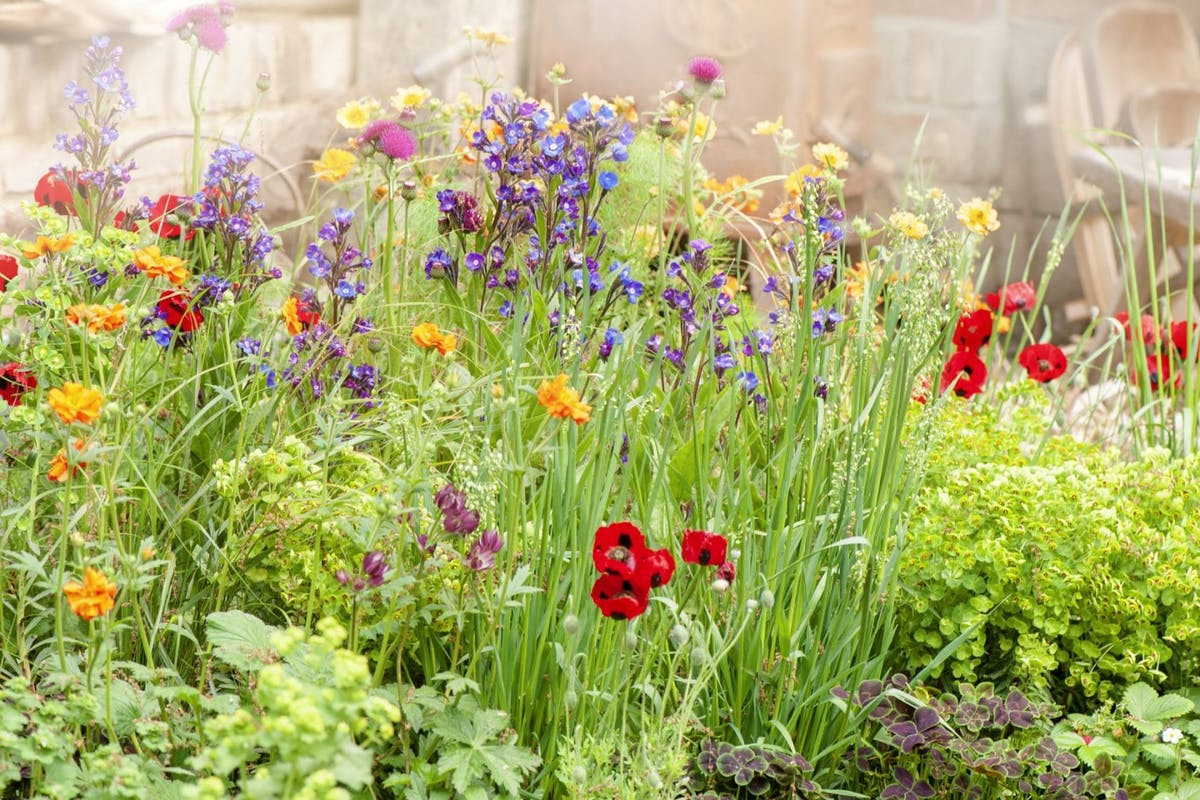 Beautiful vibrant English cottage garden flowers in the hazy summer sunshine including Ladybird red poppies and Astrantia flowers - stock photo