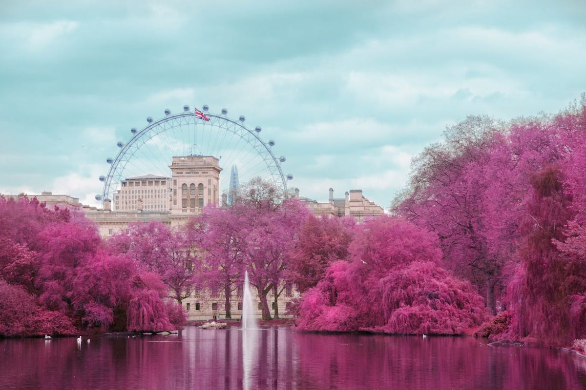 Pink blossom trees in St James's Park