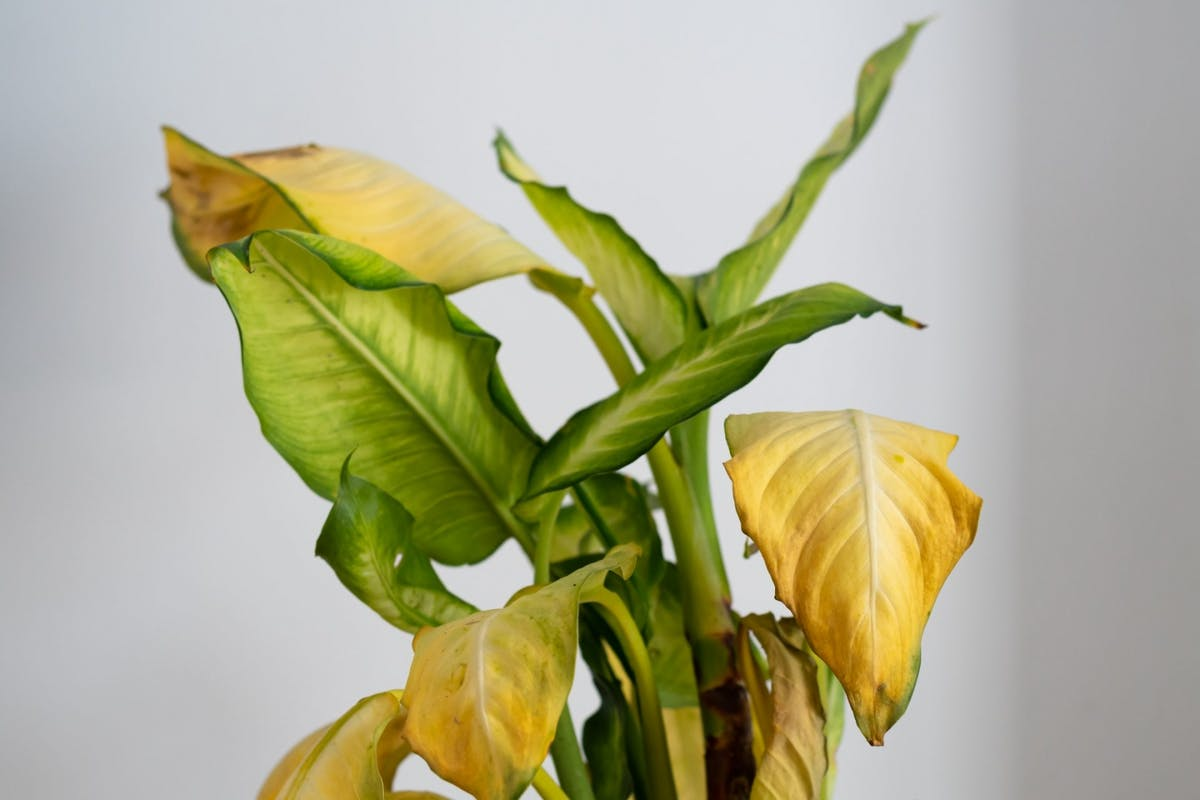 Dieffenbachia Camilla (dumb cane) with yellowing, wilted leaves