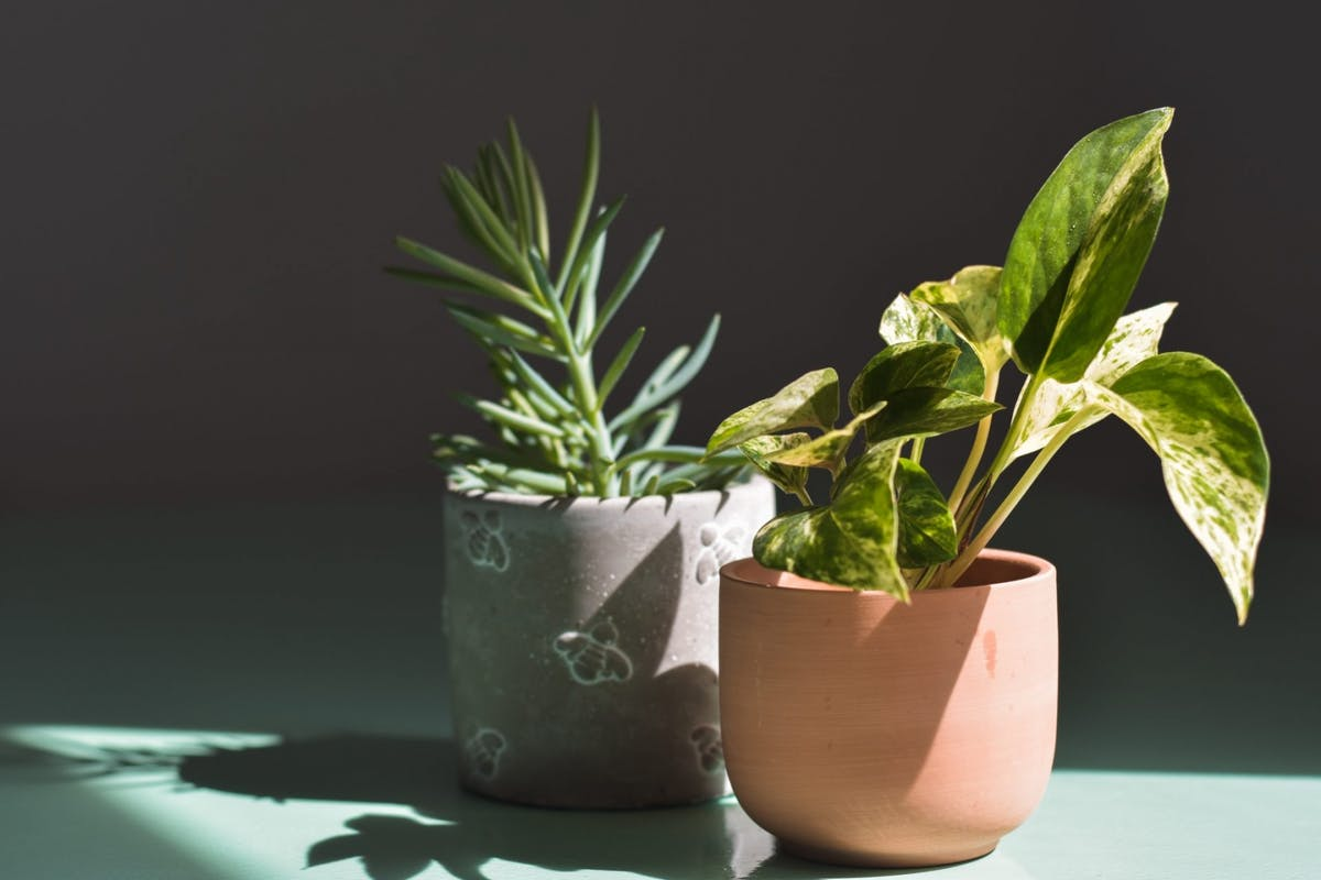 Two houseplants in sunlight