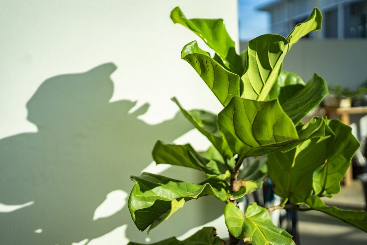 A fiddle leaf fig in the sunlight