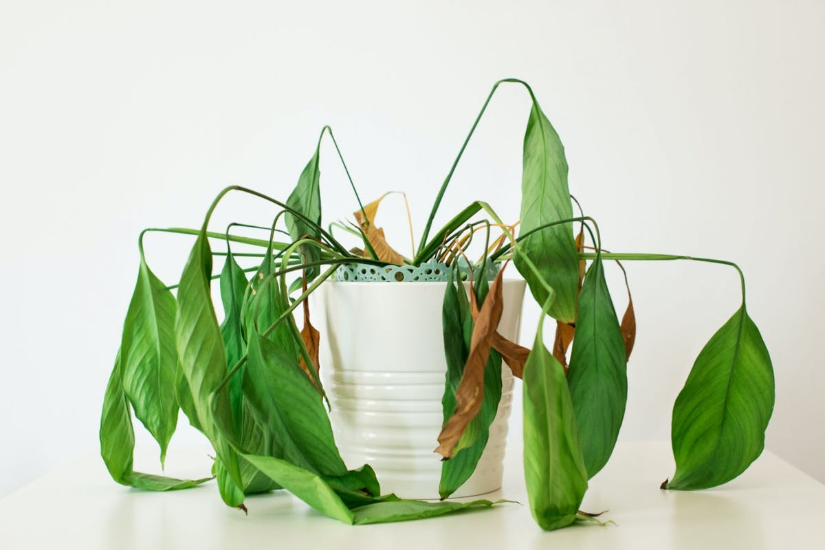 A plant with drooping leaves