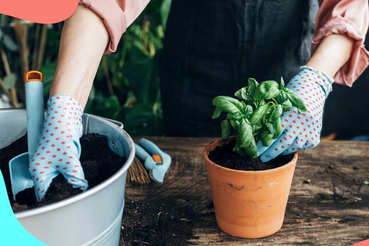 Images of woman wearing gardening gloves planting basil in a small pot.