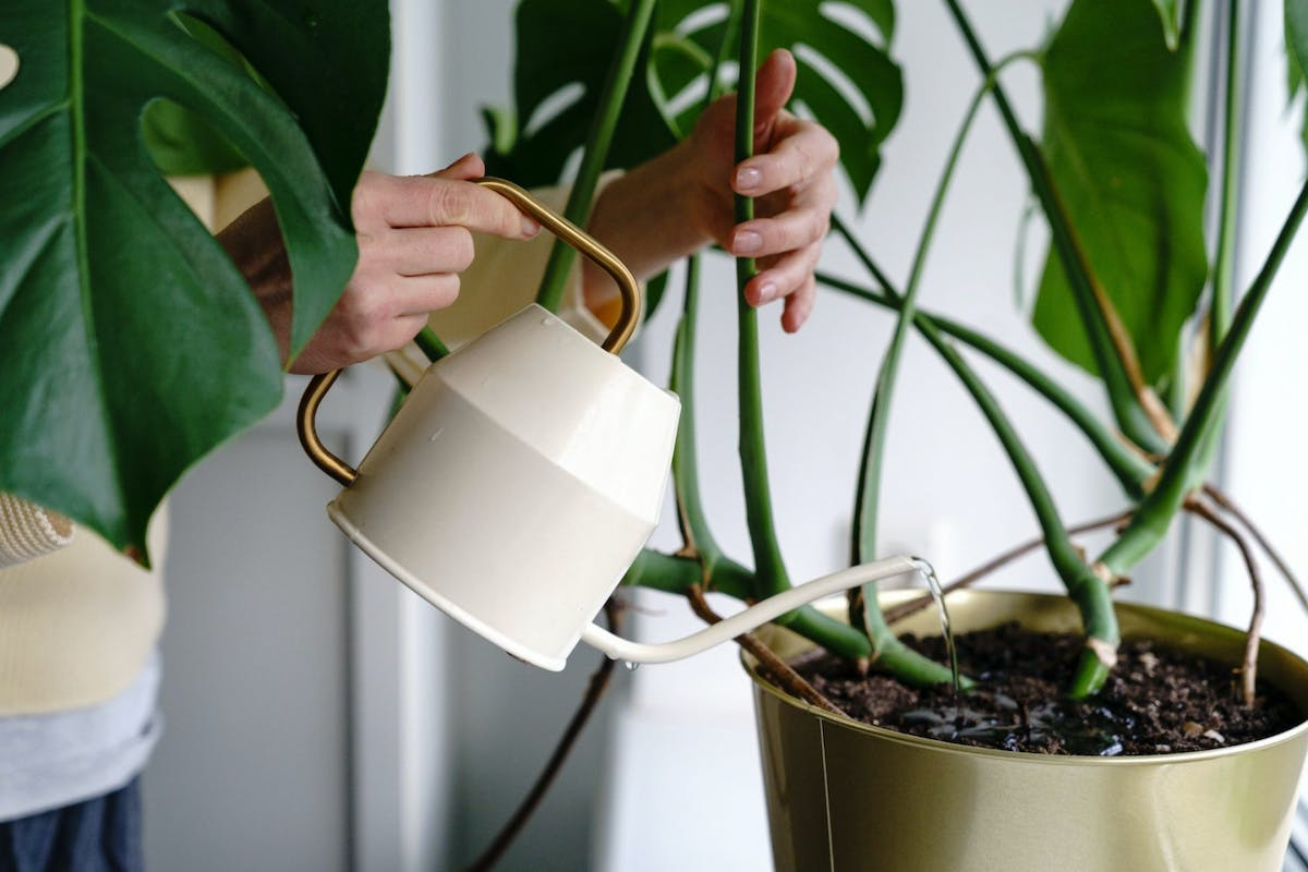 A woman watering her monstera plant